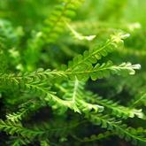 Mech Cameroon moss (Plagiochilaceae sp.)