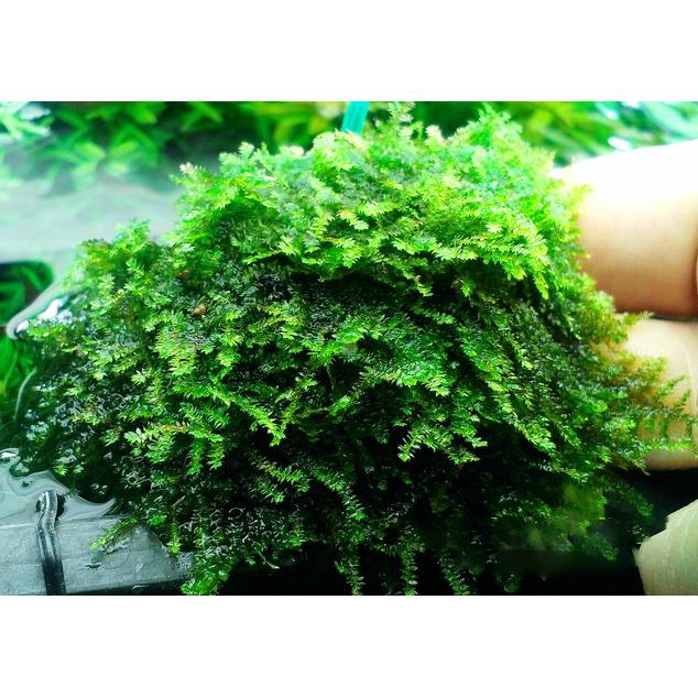 Mech China moss (Vesicularia sp.) - opakowanie