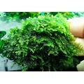 Mech China moss (Vesicularia sp.) - [opakowanie]