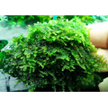 Mech China moss (Vesicularia sp.) - [opakowanie 8.5cm]