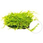 Mech Christmas moss (Vesicularia montagnei) TROPICA - opakowanie XXL