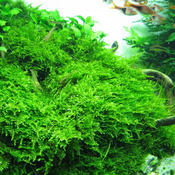 Mech Christmas moss (Vesicularia dubyana) SONGROW in-vitro [13]