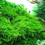 Mech Christmas moss (Vesicularia dubyana) SONGROW in-vitro [16]