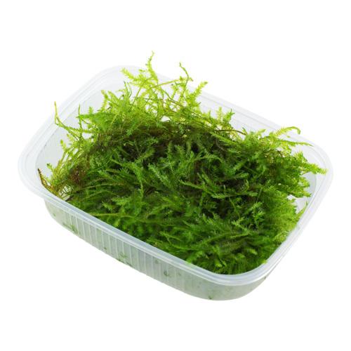 Mech Christmas moss (Vesicularia dubyana) TROPICA - opakowanie XXL