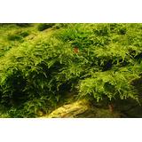 Mech Christmas moss (Vesicularia montagnei) - opakowanie 10cm XXL
