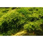 Mech Christmas moss (Vesicularia montagnei) - opakowanie 8.5cm
