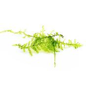 Mech Christmas moss (Vesicularia montagnei) - sadzonka