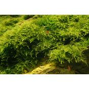 Mech Christmas moss (Vesicularia montagnei) Tropica - opakowanie 5cm
