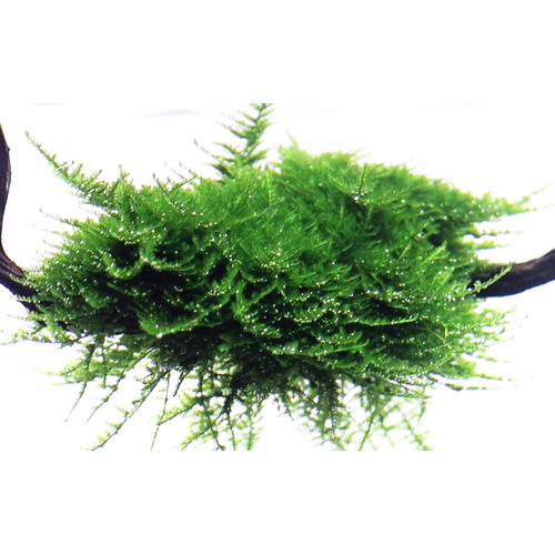 Mech Christmas moss - Vesicularia dubyana (in-vitro) puszka 7cm TROPICA