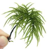 Mech Climacium japonicum (Tree moss) - in-vitro Aqua-Art - RARYTAS!