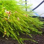 Mech Creeping moss (Vesicularia sp.) - opakowanie