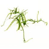 Mech Creeping moss (Vesicularia sp.) - sadzonka