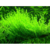 Mech Erect moss (Vesicularia reticulata) - opakowanie