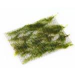 Mech Fissidens fontanus (Phoenix moss) TROPICA - na kratce