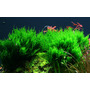 Mech Flame moss (Taxiphyllum sp.) - TROPICA in-vitro 12GROW