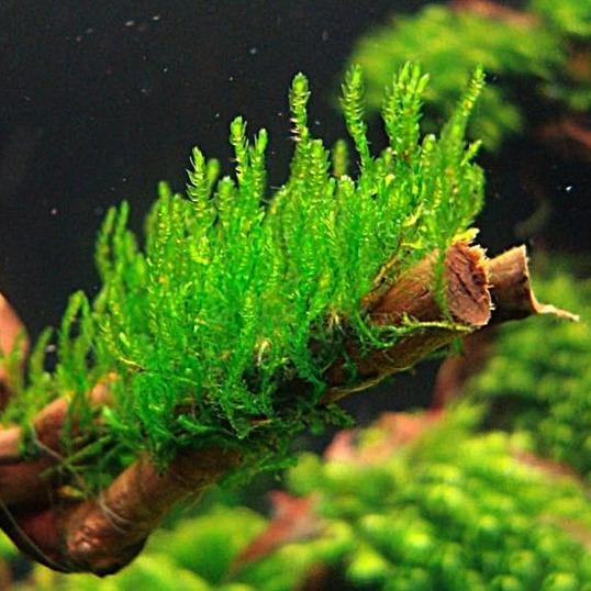 Mech Flame moss (Taxiphyllum sp.) - in-vitro Aqua-Art