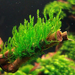 Mech Flame moss (Taxiphyllum sp.) - in-vitro Aqua-Art