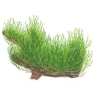 Mech Flame moss (Taxiphyllum sp.) - TROPICA in-vitro 12GROW