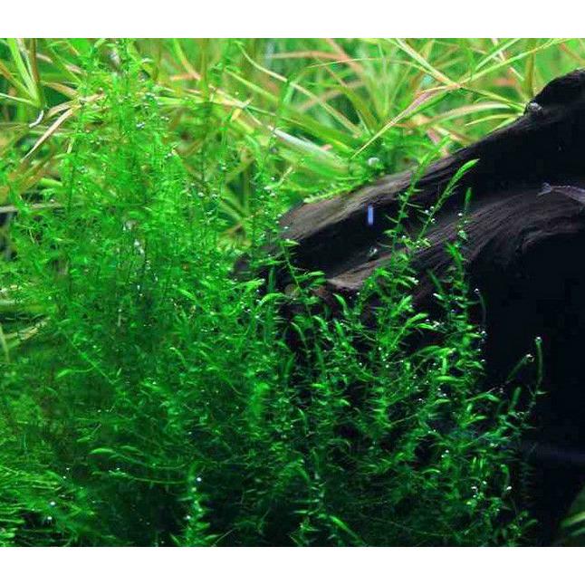 Mech Flat moss (Drepanocladus sp.)  - [opakowanie]