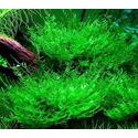 Mech Giant moss (Taxiphyllum sp.)  - [opakowanie]