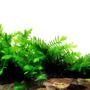 Mech GIANT Willow moss (Fontinalis antiperytica var. gigantea)  - opakowanie