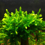 Mech Giant Willow moss (Fontinalis antiperytica var. gigantea)  - [opakowanie]