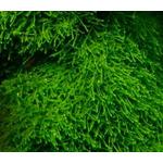 Mech Java moss (Taxiphyllum barbieri) RATAJ - [opakowanie]