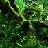 Mech Jawajski (Taxiphyllum barbieri) - TROPICA in-vitro 12GROW