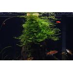 Mech Jawajski (Taxiphyllum barbieri) TROPICA - opakowanie 5cm