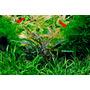 Mech Jawajski (Taxiphyllum barbieri) TROPICA - in-vitro 12GROW