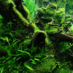 Mech Jawajski - Taxiphyllum barbieri (Java Moss) (in-vitro) puszka 7cm TROPICA