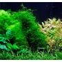 Mech Jawajski - Taxiphyllum barbieri (Java Moss) - opakowanie