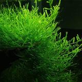 Mech Jawajski - Taxiphyllum barbieri (Java Moss) - opakowanie 10cm