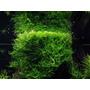 Mech Jawajski - Taxiphyllum barbieri (Java Moss) - opakowanie 8.5cm