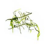 Mech Jawajski - Taxiphyllum barbieri (Java Moss) - sadzonka