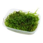 Mech Jawajski - Taxiphyllum barbieri (Java Moss) TROPICA - opakowanie  250ml