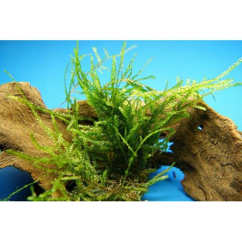 Mech MINI java moss (Taxiphyllum sp.)