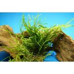 Mech MINI java moss (Taxiphyllum sp.) - opakowanie 8.5cm