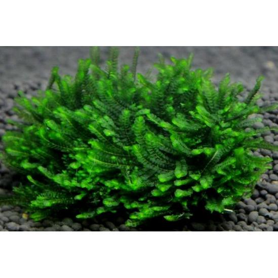 Mech Mini rosa moss (Jungermannia pseudocyclop) - [opakowanie]