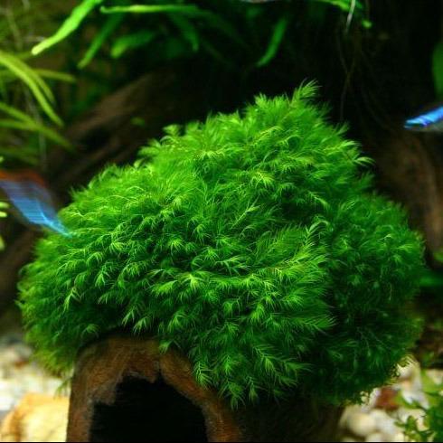 Mech Phoenix moss (Fissidens fontanus) - opakowanie