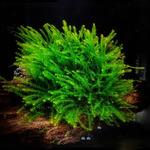 Mech Pilo Moss (Pilotrichaceae) - porcja