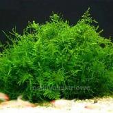 Mech Singapore moss (Vesicularia dubyana) - opakowanie 8.5cm
