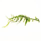 Mech Singapore moss (Vesicularia dubyana) - sadzonka