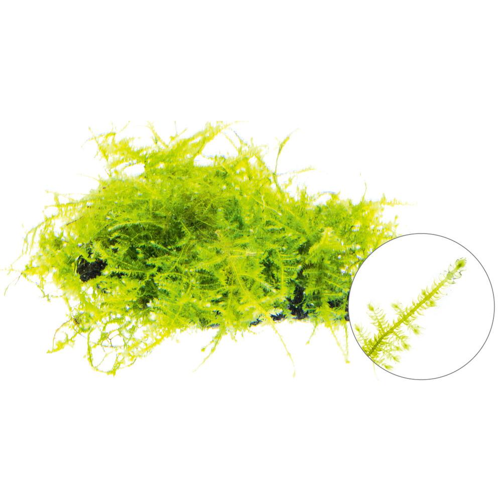 Mech South America moss (Vesicularia sp.) - [opakowanie]