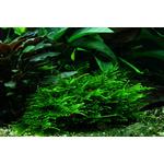 Mech Spiky moss (Taxiphyllum spiky) - TROPICA in-vitro 12GROW
