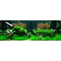 Mech Spiky moss (Taxiphyllum spiky) - TROPICA in-vitro 12GROW