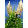 Mech Spiky moss (Taxiphyllum sp.)