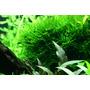 Mech Spiky moss (Taxiphyllum spiky) - in-vitro Aqua-Art