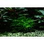 Mech Spiky moss (Taxiphyllum spiky) TROPICA - opakowanie