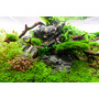 Mech Spiky moss (Taxiphyllum spiky) TROPICA - opakowanie XXL